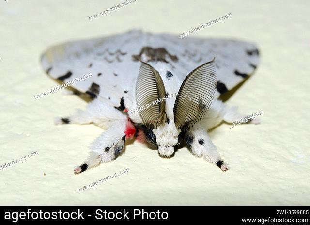 Male Tussock Moth (Lymantria marginalis) with large antennae, Klungkung, Bali, Indonesia