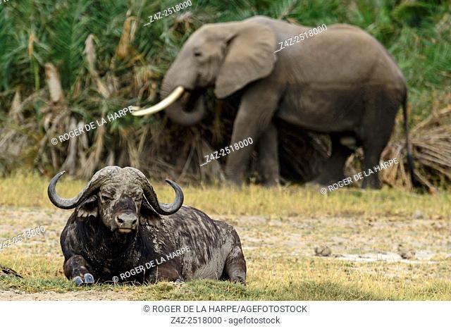 Cape Buffalo (Syncerus caffer) and African bush elephant (Loxodonta africana). Amboseli National Park. Kenya