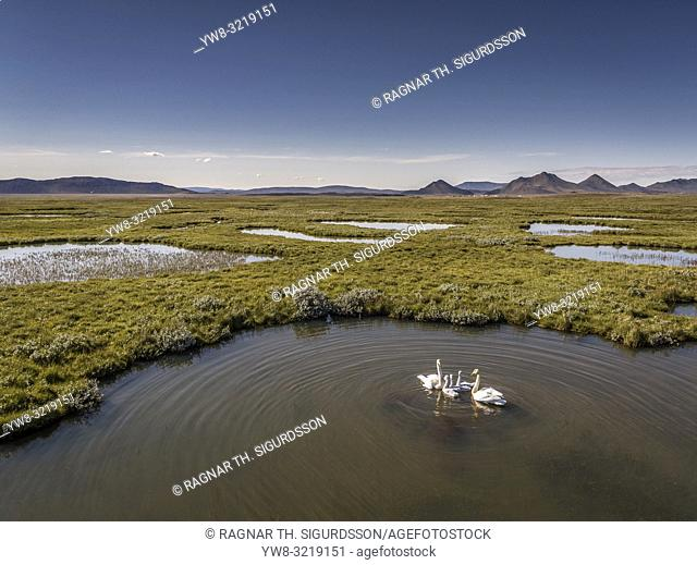 Swan family, Modrudalur valley, Northern Iceland