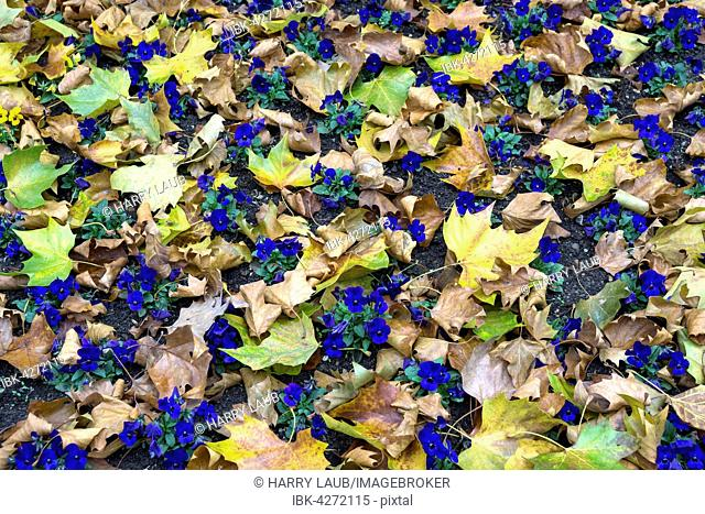 Blue pansy (Viola wittrockiana) amongst autumn leaves, Baden-Württemberg, Germany