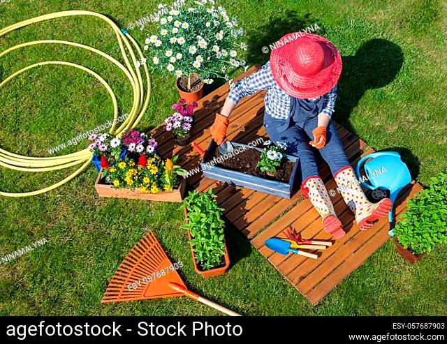 Woman wearing gloves, straw hat potting osteospermum flowers. Gardening concept