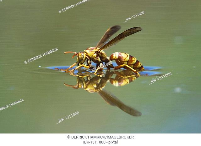 Paper Wasp (Polistes sp.), wasp drinking from water surface, Rio Grande Valley, Texas, USA