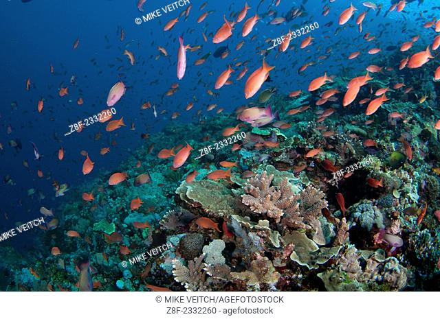 Several species of small schooling fish such as damselfish and anthias feed on plankton in the water column above hard corals, Porites sp