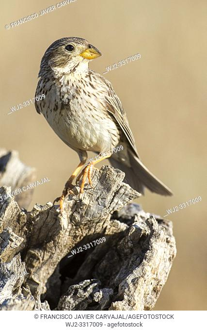 Corn bunting (Miliaria calandra), perched on its trunk in the pasture of Extremadura, Spain