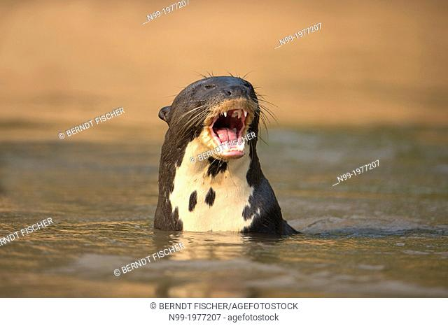 Giant otter (Pteronura brasiliensis), swimming, Pantanal, Brazil