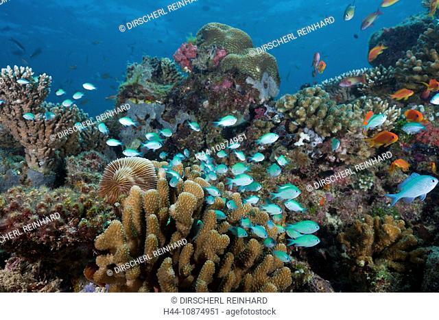 Korallenriff mit Chromis Riffbarschen, Chromis viridis, Nord Ari Atoll, Malediven, Reef with Chromis Fishes, Chromis viridis, North Ari Atoll, Maldives