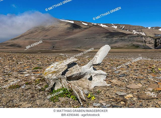 Coastline with whale bones at Diskobukta, bay, Edgeøya Island, Svalbard, Spitsbergen, Norway
