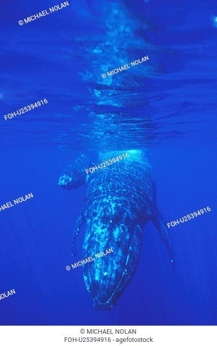 Humpback Whale Megaptera novaeangliae Mother and calf underwater, AuAu Channel off Maui, Hawaii, USA. Pacific Ocean