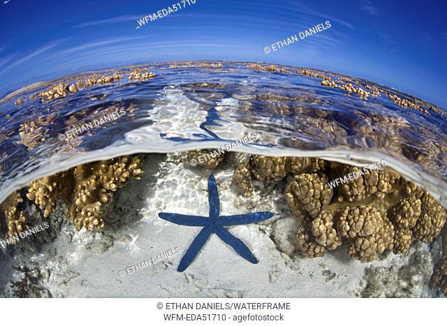 Blue Seastar on Coral Reef, Linckia laevigata, Noumea, Amedee Island, New Caledonia