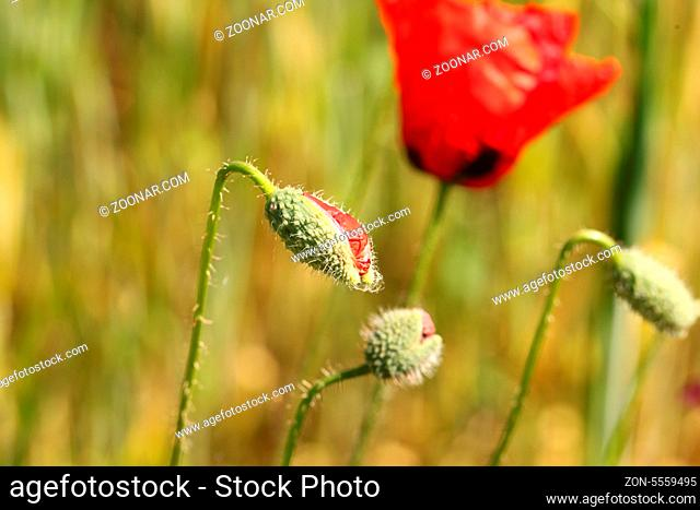 Red poppy flower bud on a background of meadow