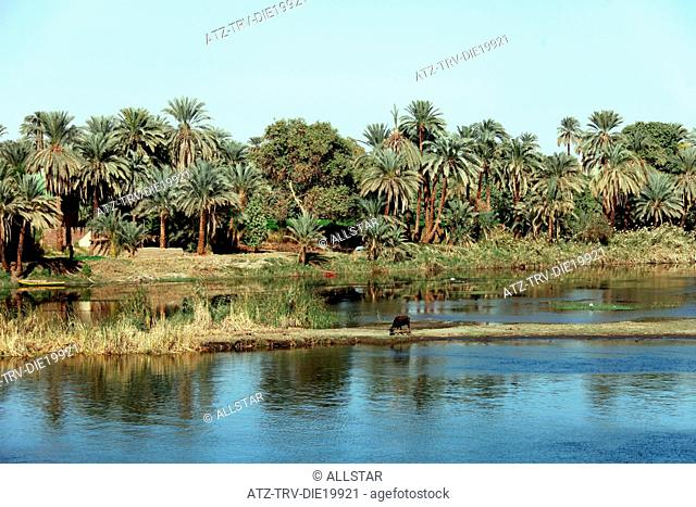 COW ON BANK & PALM TREES; RIVER NILE, EGYPT; 09/01/2013