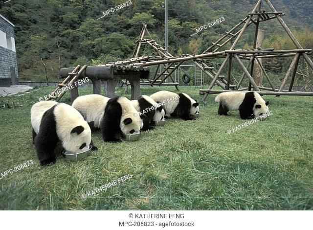Giant Panda Ailuropoda melanoleuca, endangered, five young Pandas eating at the China Conservation and Research Center for the Giant Panda