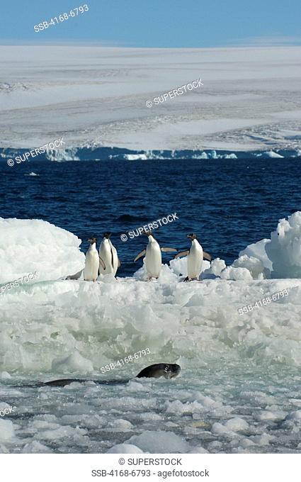 antarctica, paulet island, beach, adelie penguins on ice pebbles, weddell seal swimming in water