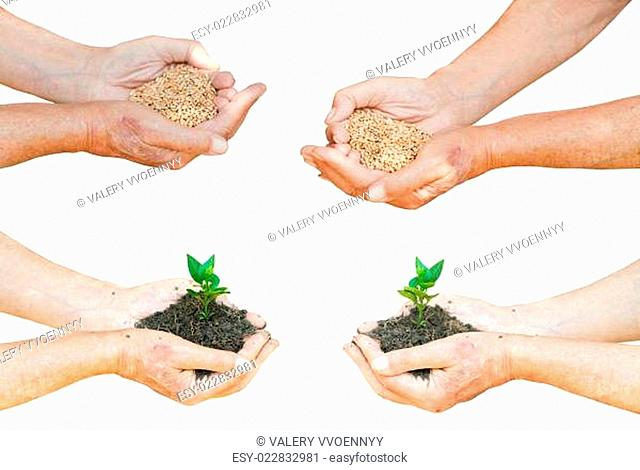 farmer hands with wheat seeds and green sprout