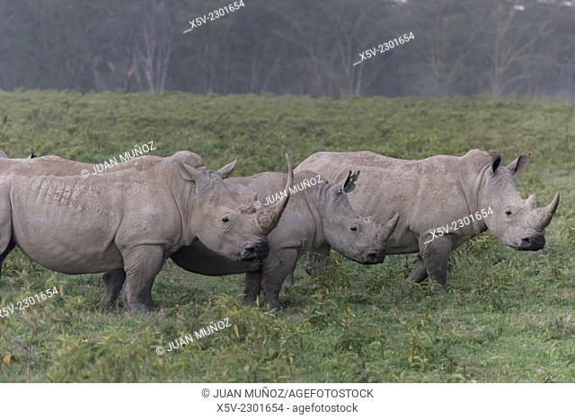 White Rhino. Ceratotherium simum. Lake Nakuru NP