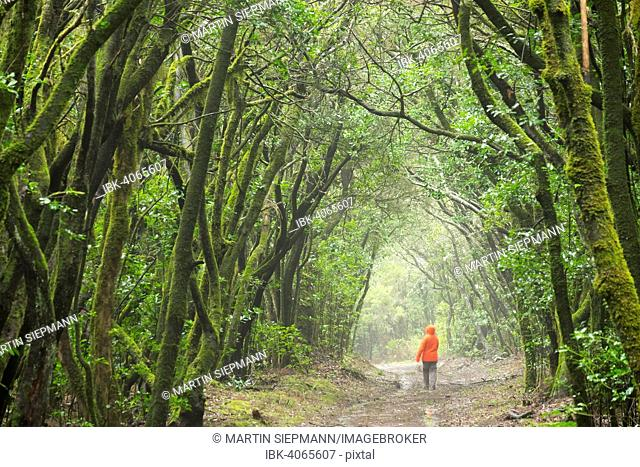 Track in the cloud forest, laurel forest, Garajonay, La Gomera, Canary Islands, Spain