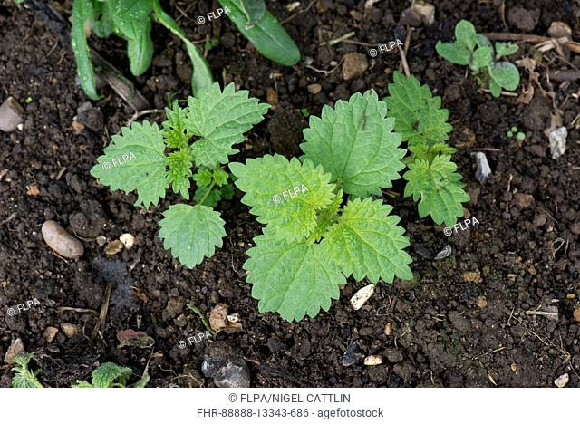 Young stinging nettle, Urtica dioica, shoots arising from a fragmented rhizome root in a flower bed, September