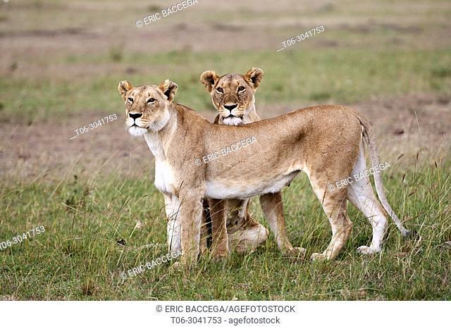 African Lion (Panthera leo) two females ) Masai Mara National Reserve, Kenya, Africa