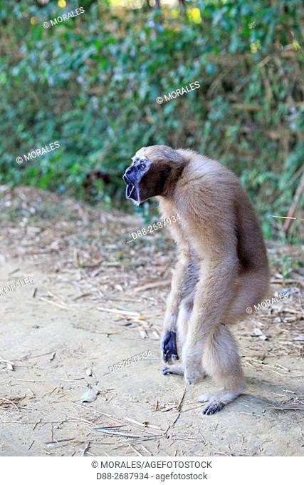 South east Asia, India,Tripura state,Gumti wildlife sanctuary,Western hoolock gibbon (Hoolock hoolock), adult female walking