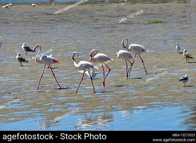 Greater Flamingos (Phoenicopterus roseus) walking across sandbar, Woodbridge Island, Cape Town, South Africa