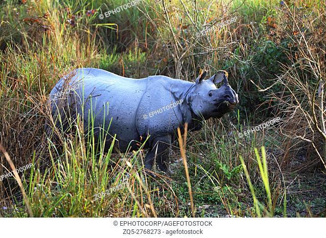 Female one Horned Rhino, Rhinoceros unicornis at Kaziranga National Park, Assam, India