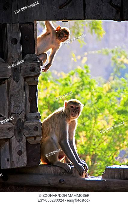 Rhesus macaques (Macaca mulatta) playing at the ga