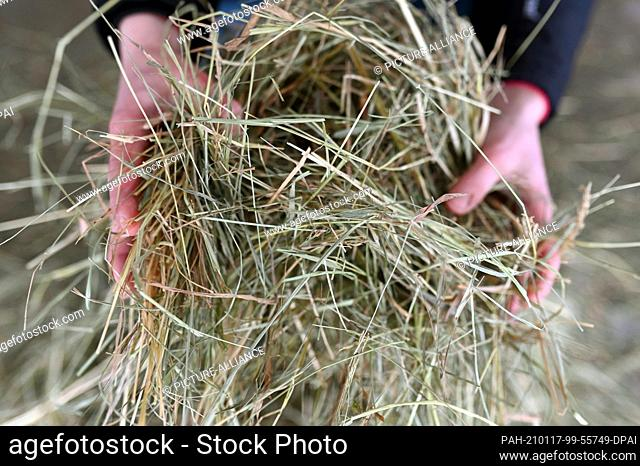 12 January 2021, Baden-Wuerttemberg, Unterreichenbach: In the Leimenäckerhof, which is under construction, hay is shown. The first cows are due to move in at...