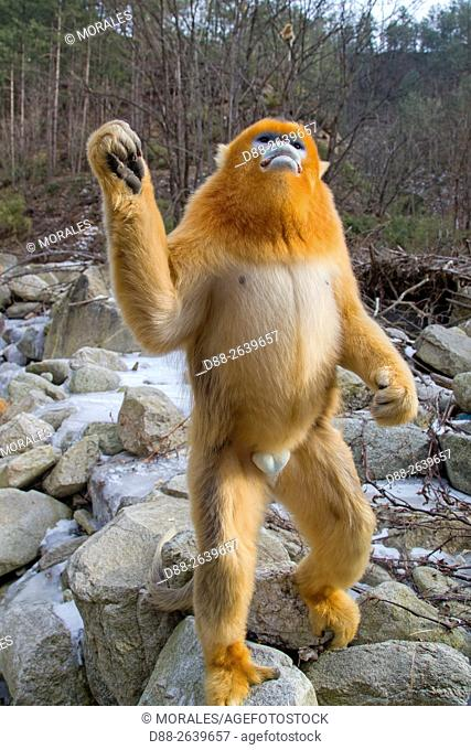 Asia, China, Shaanxi province, Qinling Mountains, Golden Snub-nosed Monkey (Rhinopithecus roxellana), standing up near a river