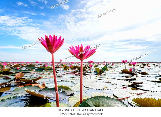 Beautiful nature landscape and close-up of two Red Lotus flowers or Red Indian Water Lily or Nymphaea Lotus in the pond under the blue sky at Thale Noi...