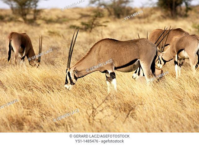 Beisa Oryx, oryx beisa, Group standing in Dry Grass, Savannah, Masai Mara Park in Kenya
