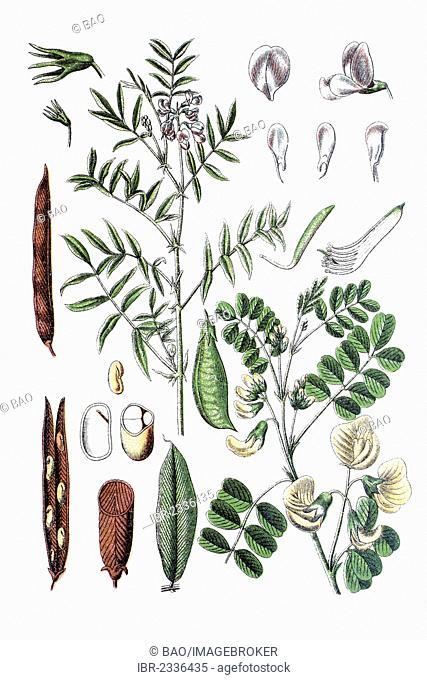 Left: Goat's rue (Galega officinalis), right: bladder senna (Colutea arborescens), medicinal plant, historical chromolithography, ca. 1796