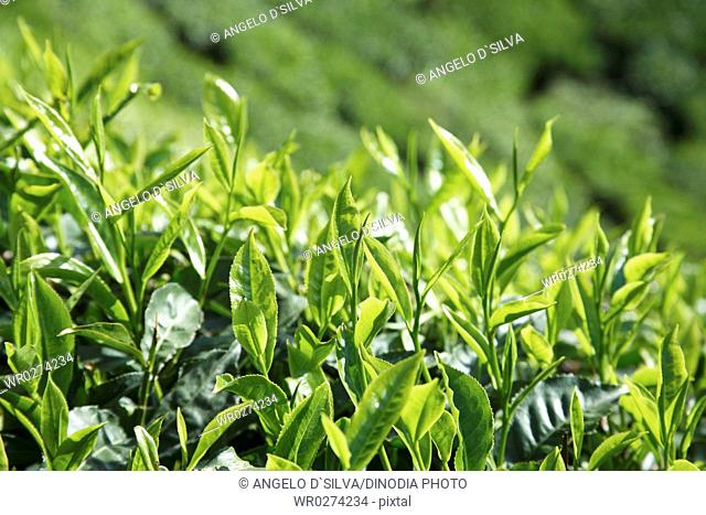 Tea plants Latin name Camellia sinensis fresh foliage and tender leaves , Tea gardens at Munnar , Kerala , India