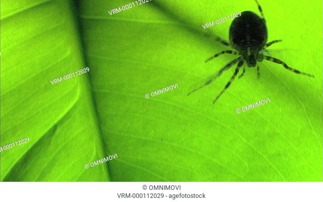 Close-up of European Garden Spider on green plant