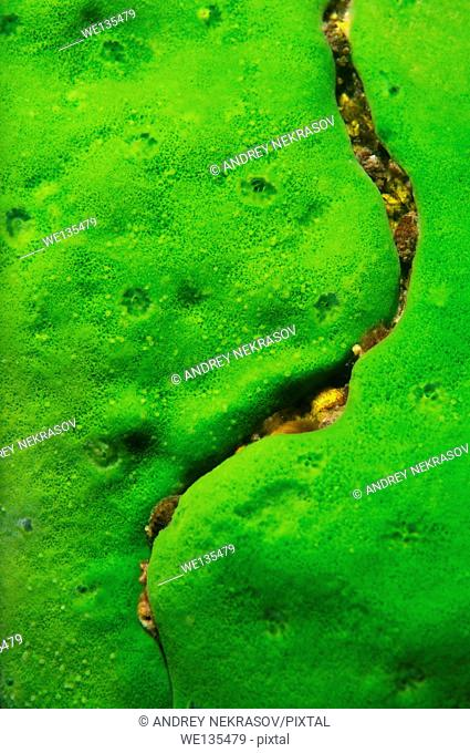 Demosponge (Lubomirskia baicalensis), Lake Baikal, Siberia, Russia, Europe