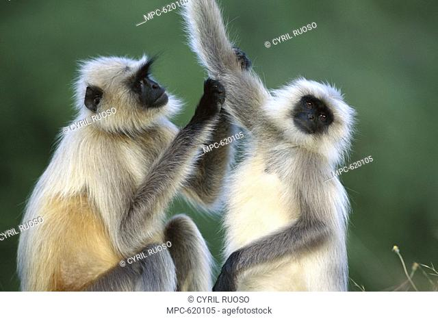 Hanuman or Grey or Common Langur Semnopithecus entellus, two females grooming, Rajasthan, India