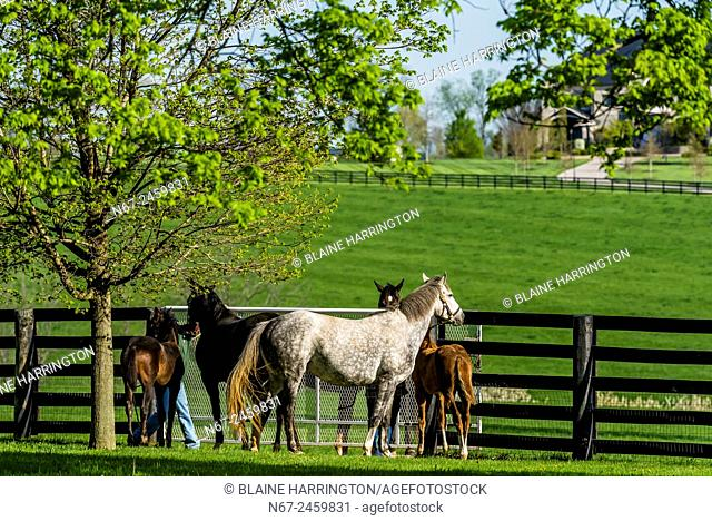 Thoroughbred mares and foals being returned from paddock to stables, Winstar Farm, Versailles (Lexington), Kentucky USA