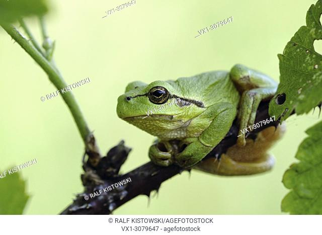 European Tree Frog ( Hyla arborea ) resting on blackberry tendril, typical pose, green background, perfect camouflage, wildlife, Europe