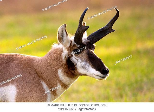 Pronghorn or Antelope, Yellowstone National Park, USA