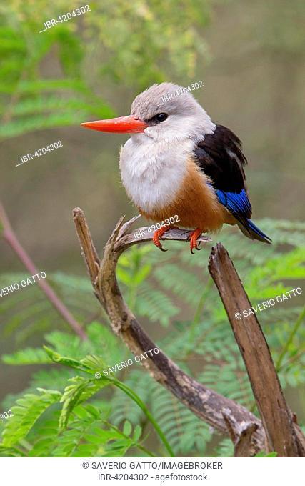 Grey-headed Kingfisher (Halcyon leucocephala acteon), adult perched on a branch, Santiago, Cape Verde