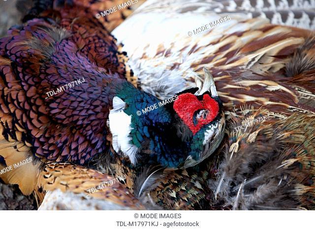 A dead pheasant, Phasianus Colchicus