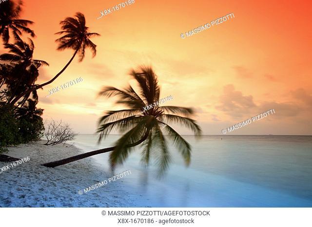 Palm on the beach at sunset, Filitheyo island, Maldives