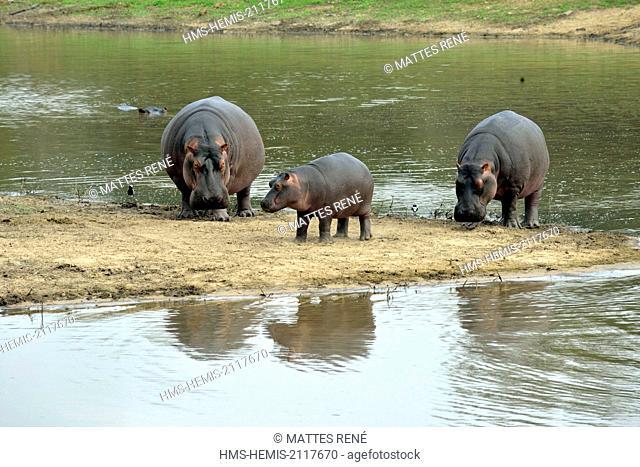 South Africa, Mpumalanga, Kruger National Park, Hippopotamus (Hippopotamus amphibius)