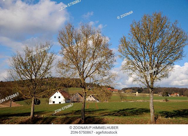Acer campestre, Feldahorn, Field maple