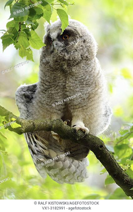 Long-eared Owl ( Asio otus ), young chick, just fledged, perched in a tree, awakening, stretching its body and wings, wildlife, Europe
