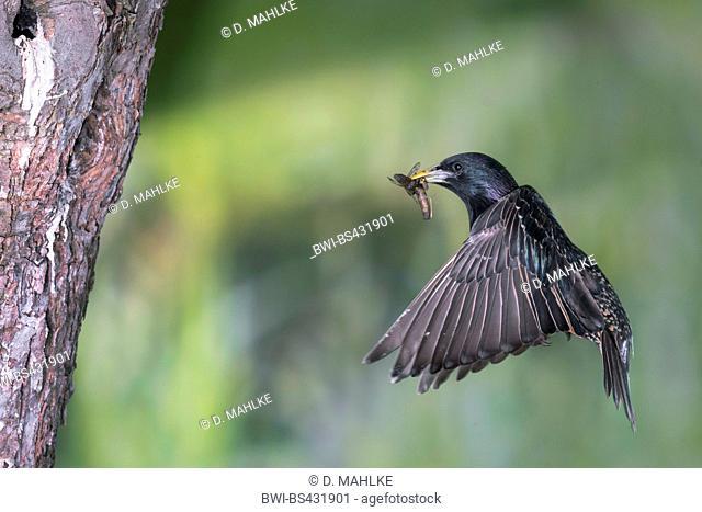 common starling (Sturnus vulgaris), approaches the breeding cave in an apple tree, Germany, North Rhine-Westphalia