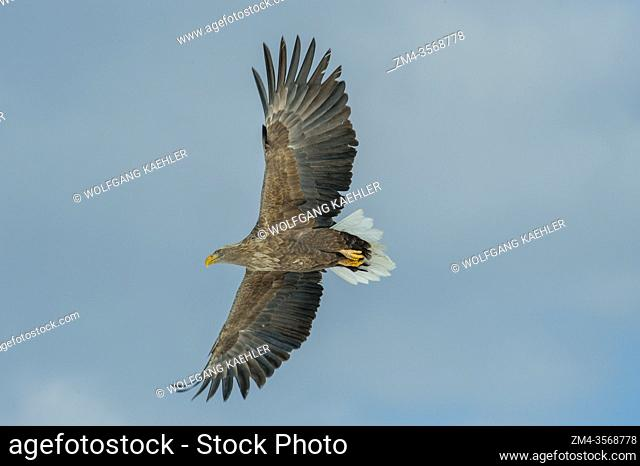 A White-tailed eagle (Haliaeetus albicilla) in flight near the small village of Tsurui near the Japanese town of Kushiro on Hokkaido Island, Japan