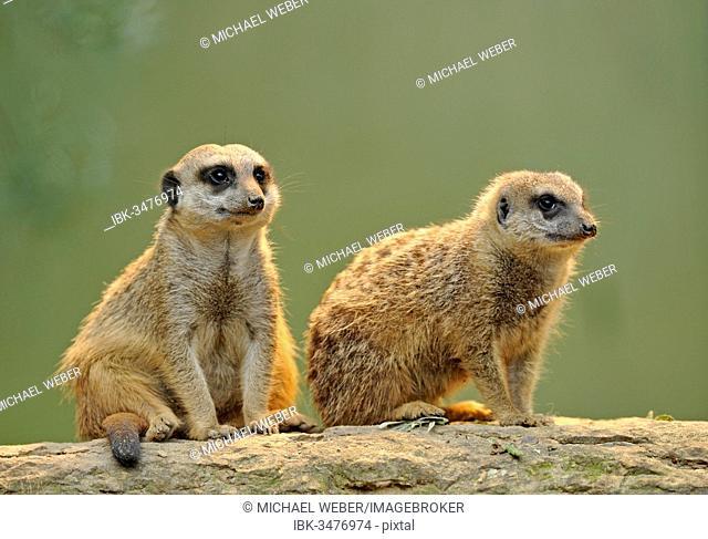Meerkat (Suricata suricatta) pups, Stuttgart, Baden-Württemberg, Germany