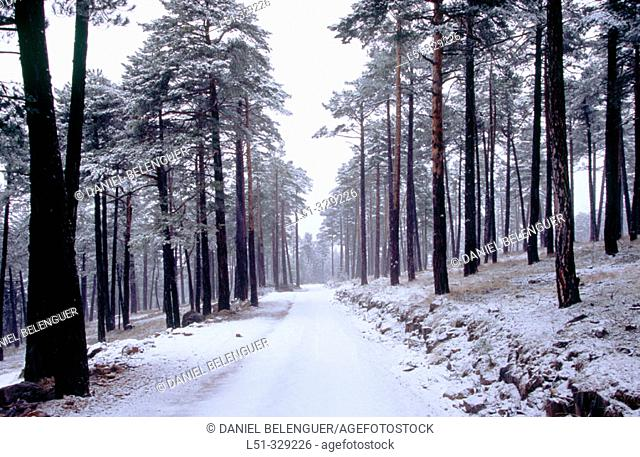 Snow covered road and Pine forest (Pinus sylvestris) in Penyagolosa. Castellon province. Comunidad Valenciana. Spain