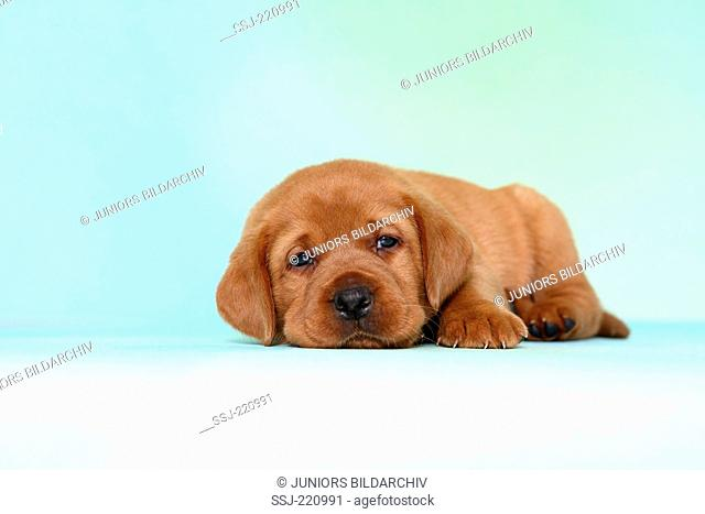 Labrador Retriever. Tired puppy (5 weeks old) lying. Germany. Studio picture seen against a turquoise background