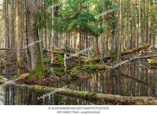 Springtime wet mixed forest with standing water and dead trees partly declined, Bialowieza Forest, Poland, Europe
